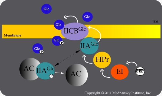 Glucose transport by the PTS